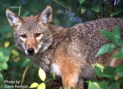 Coyotes Pose Problems To Deer Hunters