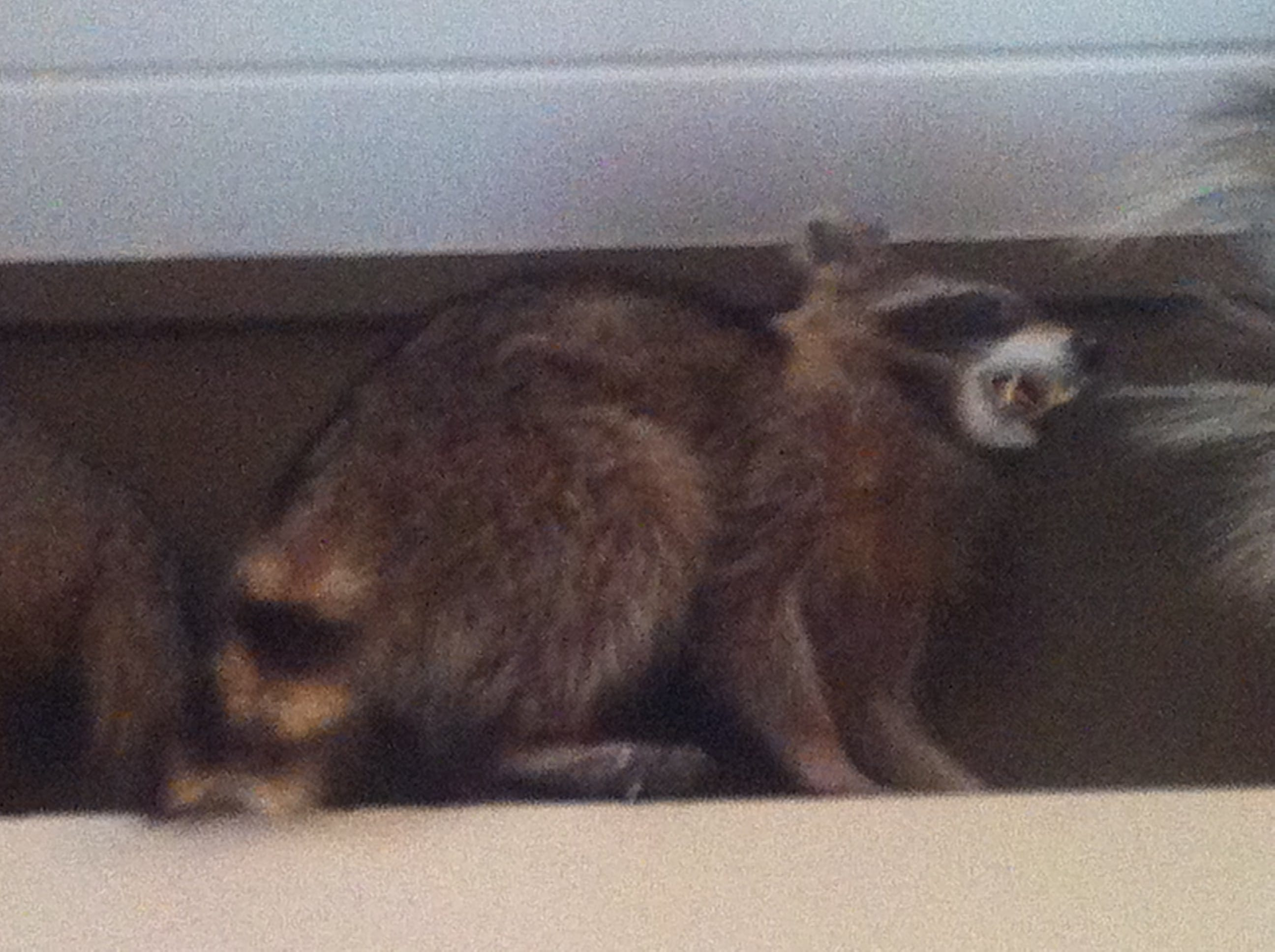 GA House Bill 160 Could Lift Ban on Trapping Raccoons