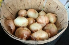 UGA develops new gadget to detect smell of sick onions