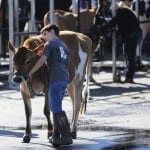 Owen Pitchford, 12 years old and from North Hall, Georgia, leads Flo the cow before her Commercial Dairy Heifer Competition at the Georgia National Fair Saturday, October 10, 2015, in Perry, Georgia. (Photo/Adrienne Andrews, ala1993@uga.edu)