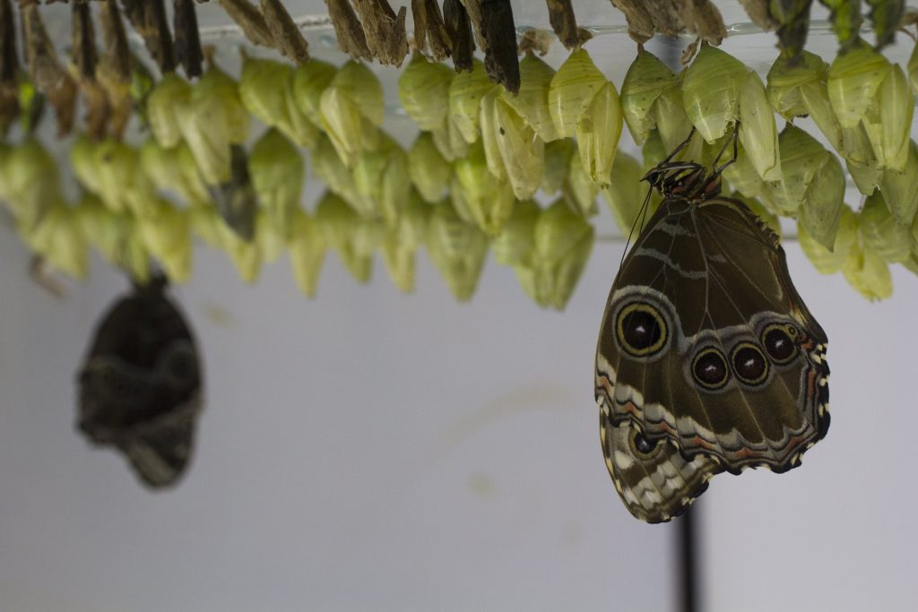 A blue morpho butterfly has just emerged from its cocoon at the Day Butterfly Center at Callaway Gardens in Pine Mountain, Georgia, on Sunday, February 28, 2016. The center incubates and releases hundreds of tropical butterflies like this one each week. (Photo/Adrienne Andrews, adrienneandrews3@gmail.com)