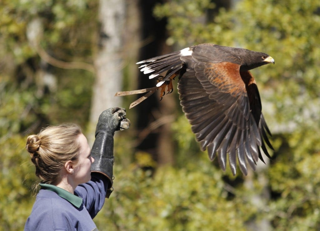Emily Rosmus, 23, a birds of prey trainer from Alexandria, Pennsylvania, releases a red shouldered hawk in Harris County, Georgia on Saturday, February 27, 2016. During shows at the amphitheatre, birds fly back and forth over the crowd. (Photo/Catherine Braun, catybird@uga.edu) Rosmus: 8143868461