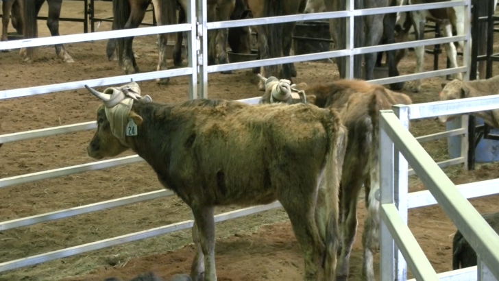 Great Southland Stampede Rodeo Gives Students Opportunities