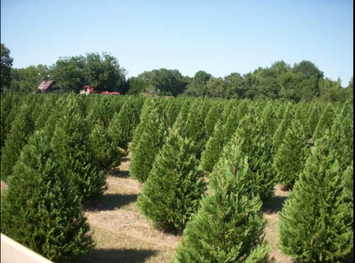 Christmas Tree Farm Arizona.Local Christmas Tree Farm Provide Opportunity To Donate