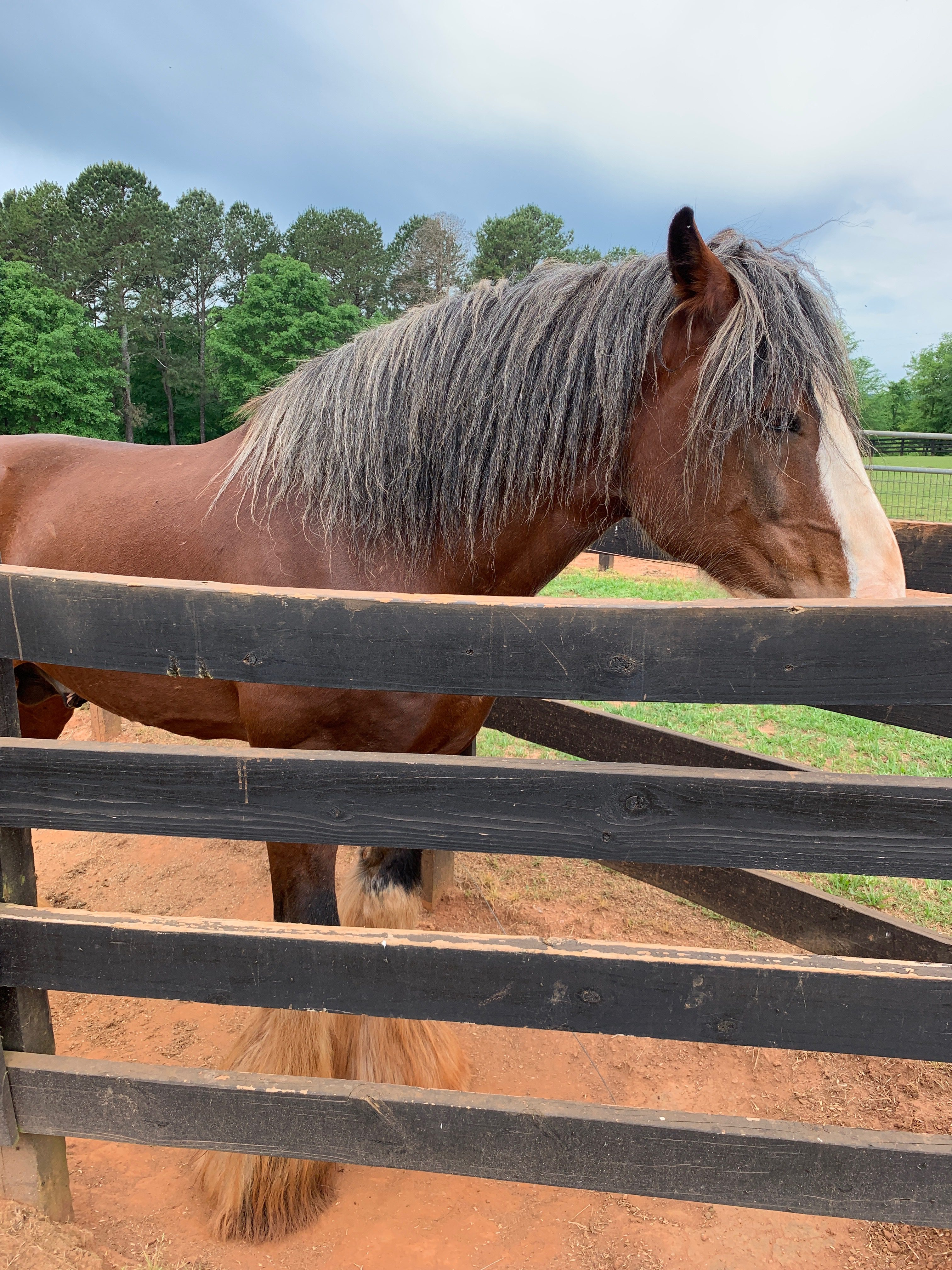 Local Efforts To Preserve Gentle Giants Classic City Clydesdale Works To Sustain The Breed Grady Newsource