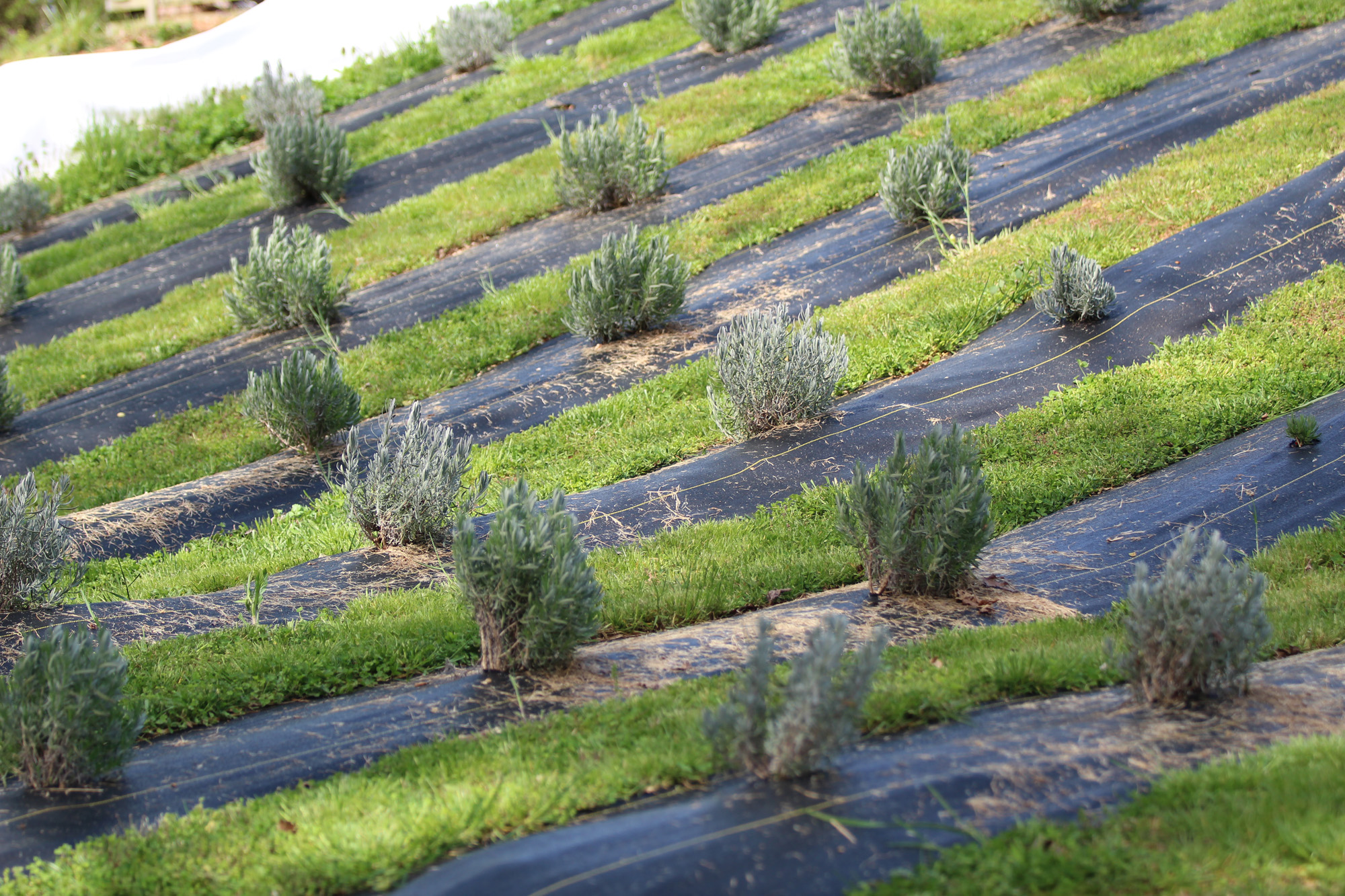 Bringing Lavender to the Mountains — Grady Newsource